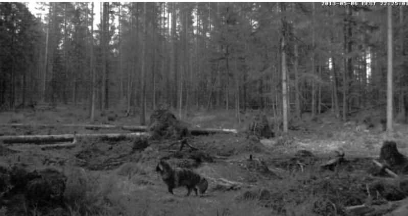 Alataguse Bear Cam 2013 - Page 2 Furryk10