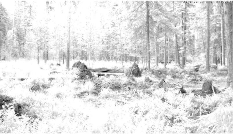 Alataguse Bear Cam 2013 - Page 3 Grayfu10