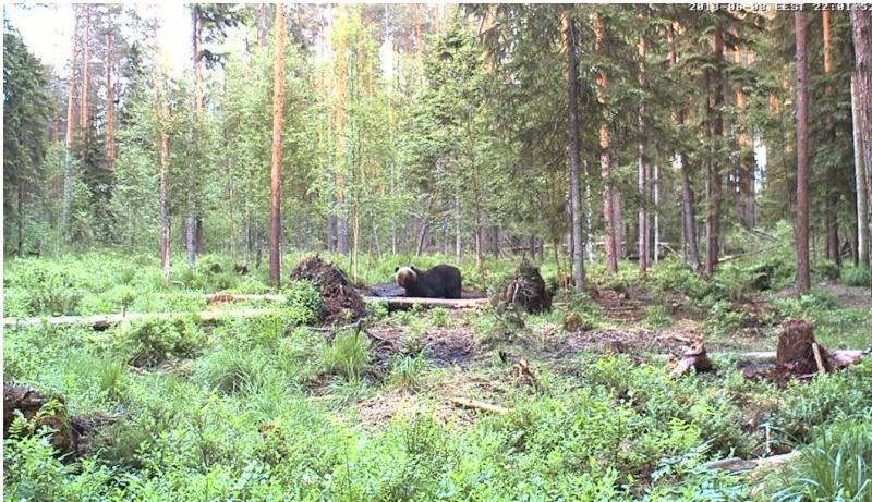 Alataguse Bear Cam 2013 - Page 3 Karuu10