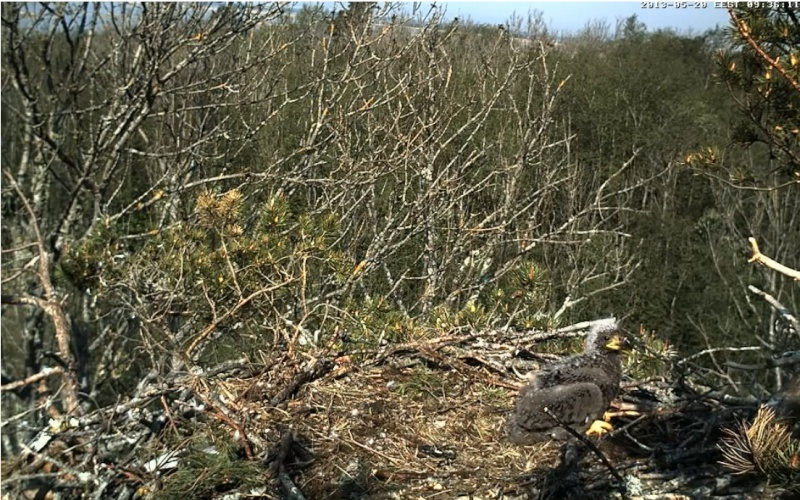 White-tailed Eagle Nest Cam 2013 Kotkap10