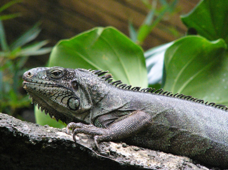 Ménagerie : Adolphe, l'iguane Iguane10