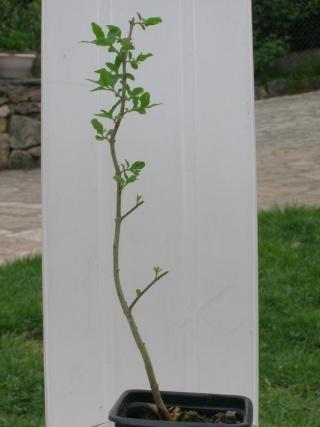 Taille des bonsaïs Bonsai10