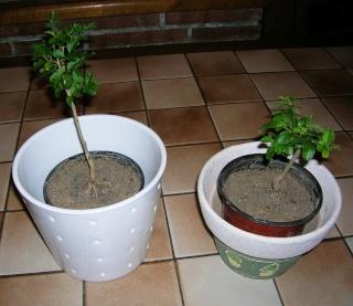 Taille des bonsaïs Dscn3312
