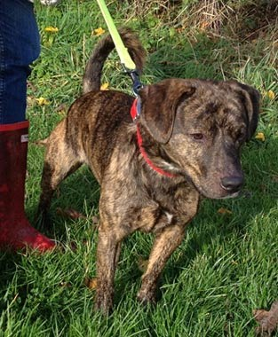 Dobbie young well mannered X breed Roysto10