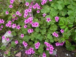 oxalis articulata Oxalis10