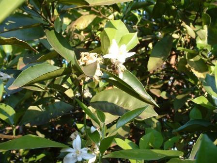 algunas flores y plagas Naranj10