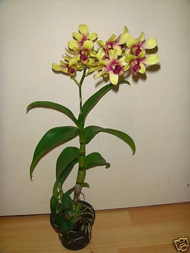 Pour les amoureuses d'orchidées Buc4gq10