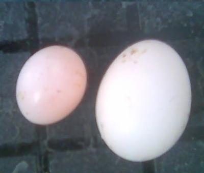 WEIRD  EGGS? Eggs11