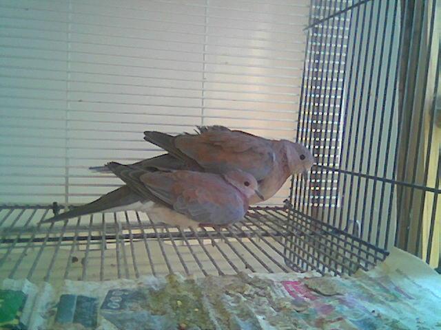 Senegal doves (PMV Paramixo Virus discussion) Image050