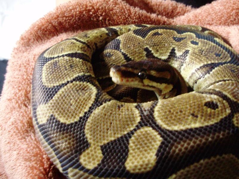 ma kitty (python regius) P6260510