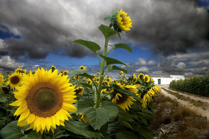 Quali sono i vostri fiori o piante preferite? Giraso10