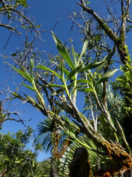 Liste des orchidées de la Réunion séjour 2020 100_po10