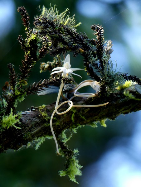 Liste des orchidées de la Réunion séjour 2020 41_aer10