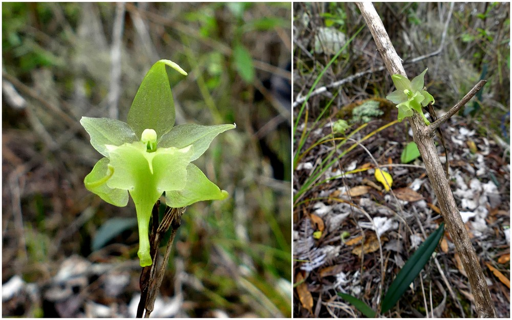 Liste des orchidées de la Réunion séjour 2020 43_aer10