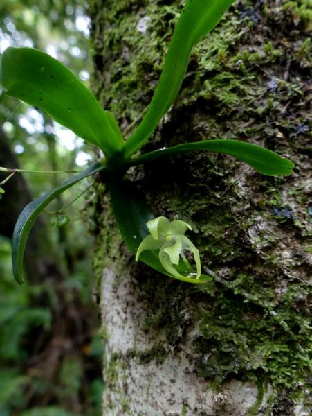 Liste des orchidées de la Réunion séjour 2020 44_aer10