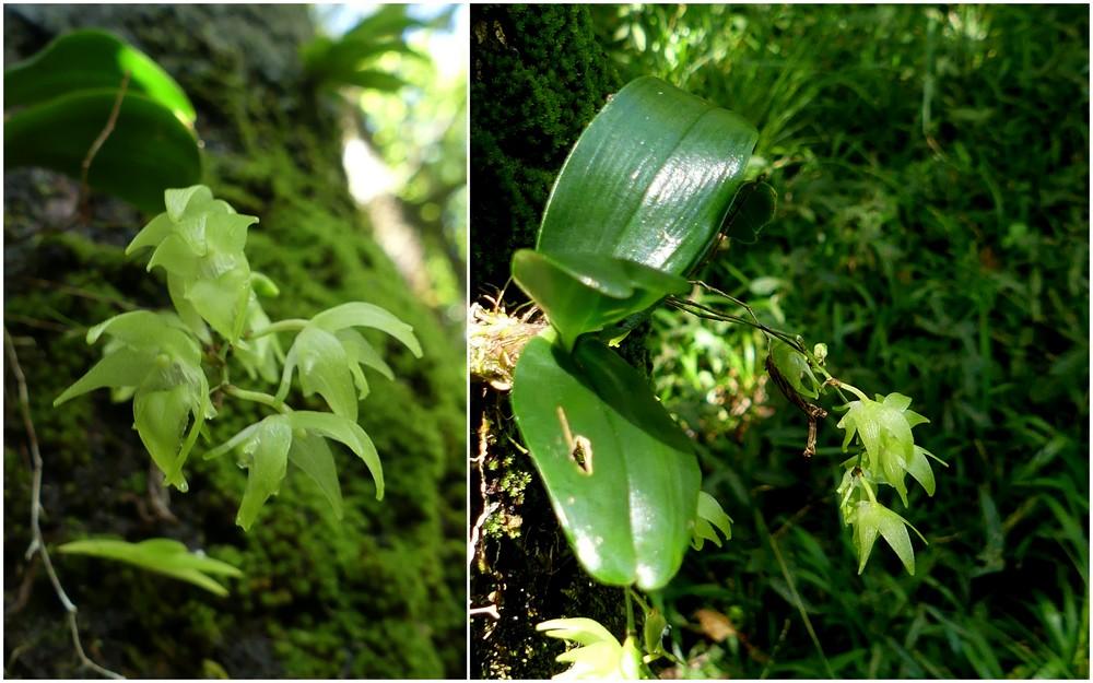 Liste des orchidées de la Réunion séjour 2020 45_aer10