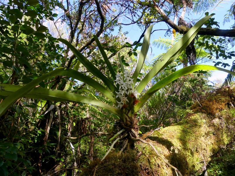 Liste des orchidées de la Réunion séjour 2020 46_ang10