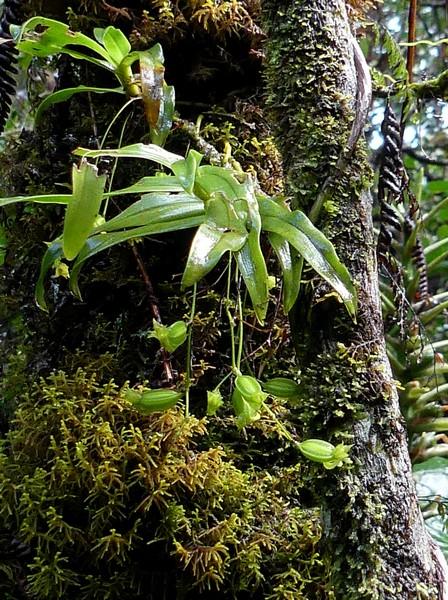 Liste des orchidées de la Réunion séjour 2020 49_ang10