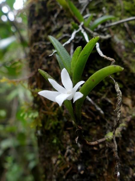 Liste des orchidées de la Réunion séjour 2020 51_ang10