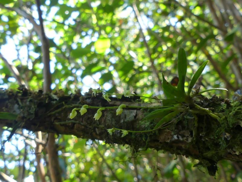 Liste des orchidées de la Réunion séjour 2020 53_ang10