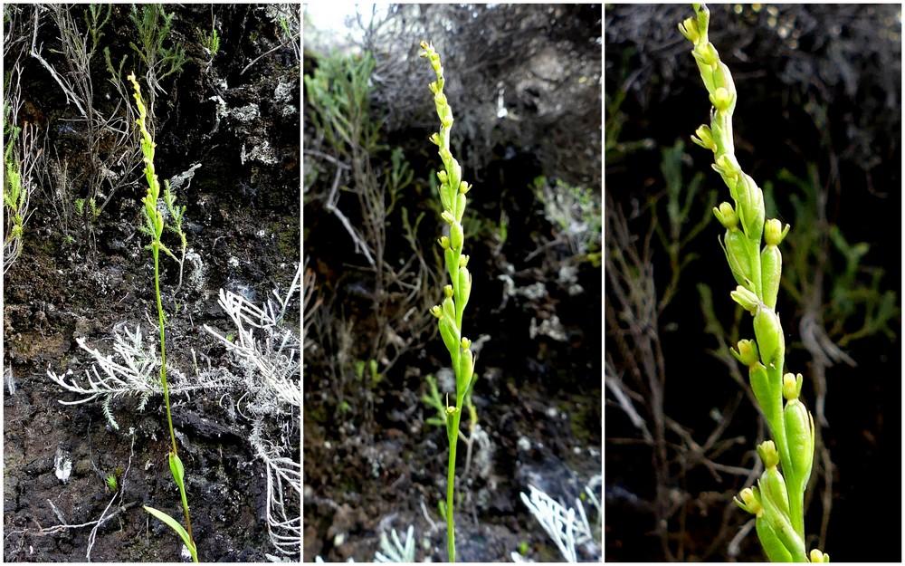 Liste des orchidées de la Réunion séjour 2020 56_ben10