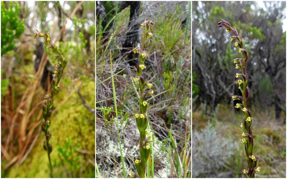 Liste des orchidées de la Réunion séjour 2020 60_ben10