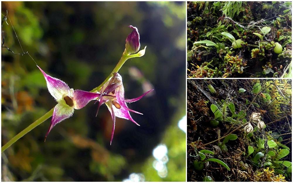 Liste des orchidées de la Réunion séjour 2020 62_bul10