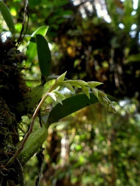 Liste des orchidées de la Réunion séjour 2020 64_bul10