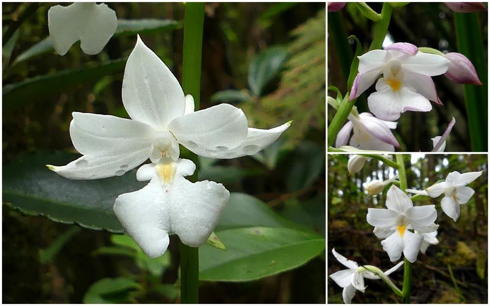 Liste des orchidées de la Réunion séjour 2020 68_cal10