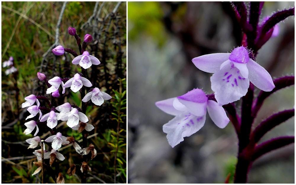 Liste des orchidées de la Réunion séjour 2020 70_cyn10