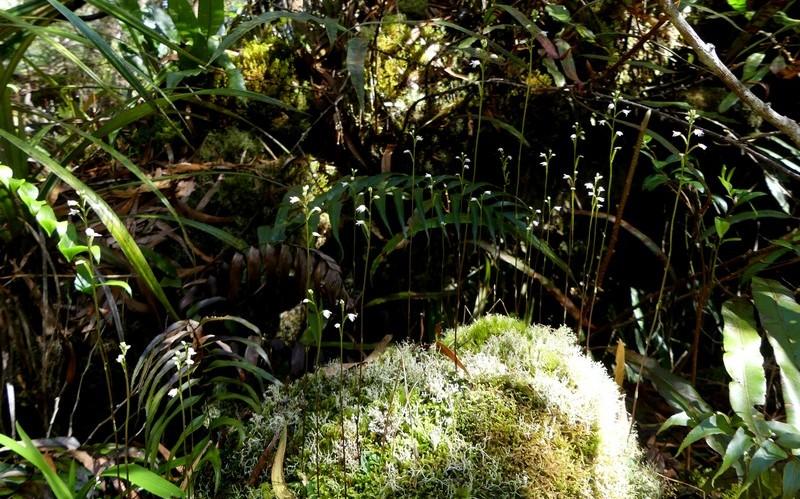 Liste des orchidées de la Réunion séjour 2020 72_cyn10
