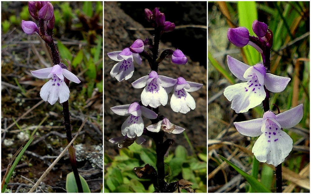 Liste des orchidées de la Réunion séjour 2020 73_cyn10