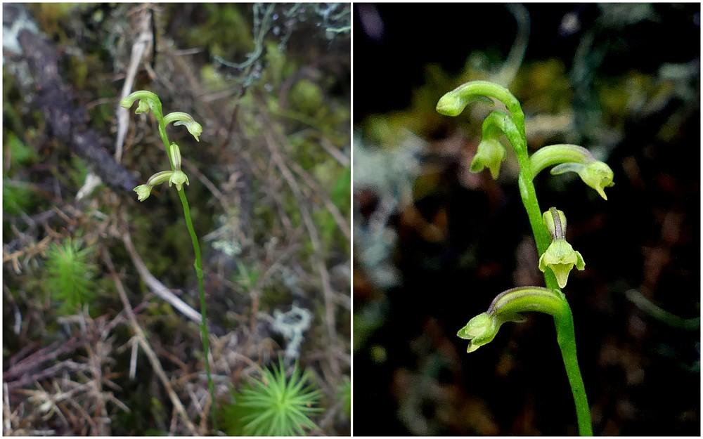 Liste des orchidées de la Réunion séjour 2020 75_cyn10