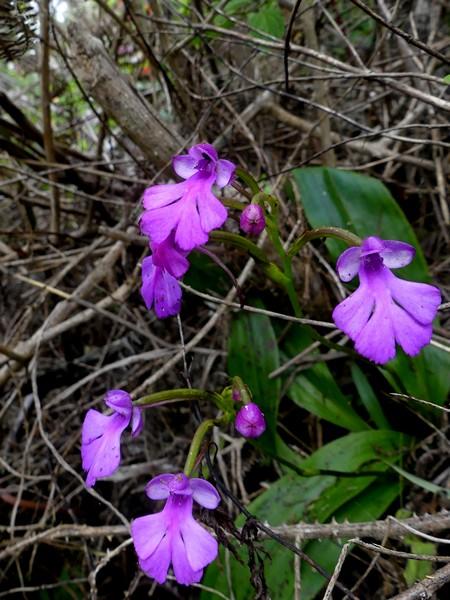 Liste des orchidées de la Réunion séjour 2020 76_cyn10