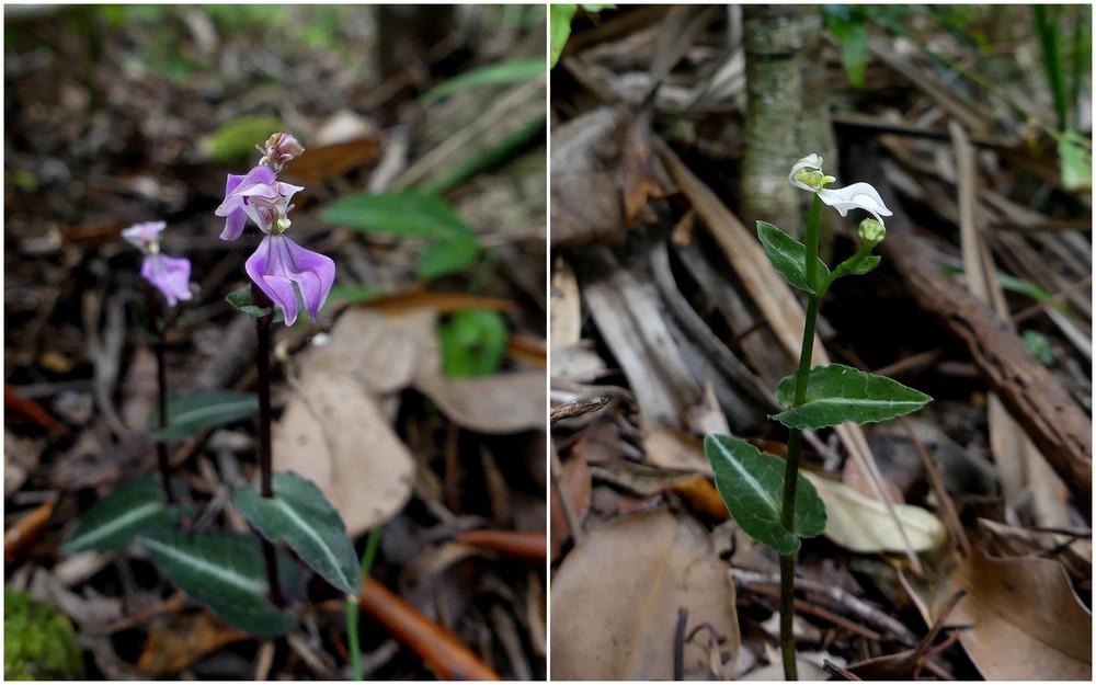 Liste des orchidées de la Réunion séjour 2020 80_dis10