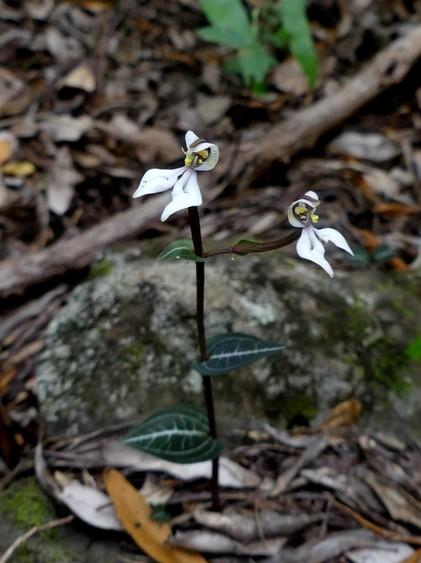 Liste des orchidées de la Réunion séjour 2020 81_dis10