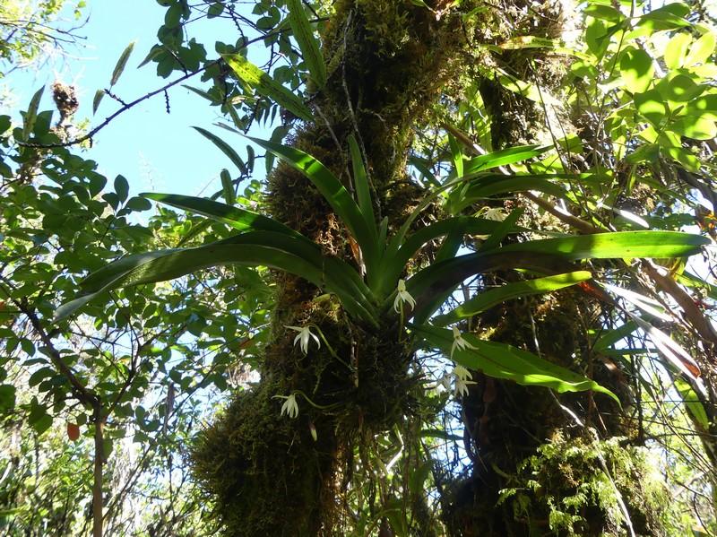 Liste des orchidées de la Réunion séjour 2020 84_jum10