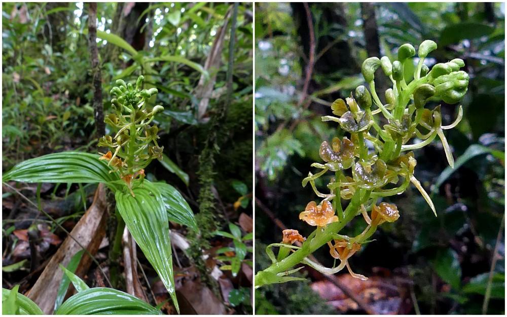 Liste des orchidées de la Réunion séjour 2020 85_lip10