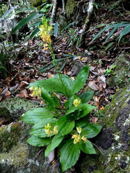 Liste des orchidées de la Réunion séjour 2020 86_bis10
