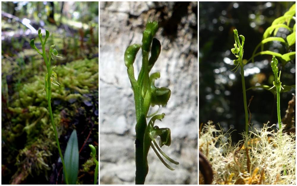 Liste des orchidées de la Réunion séjour 2020 90_lip10