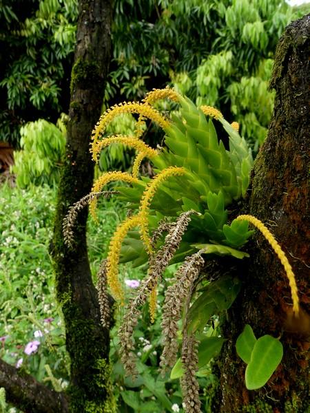 Liste des orchidées de la Réunion séjour 2020 91_obe10
