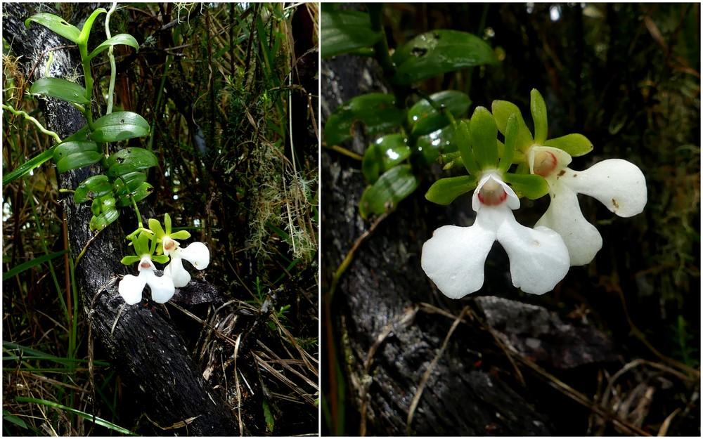 Liste des orchidées de la Réunion séjour 2020 93_oeo11