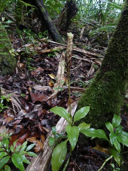 Liste des orchidées de la Réunion séjour 2020 97_pla10