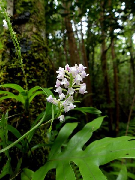 Liste des orchidées de la Réunion séjour 2020 98_pol10