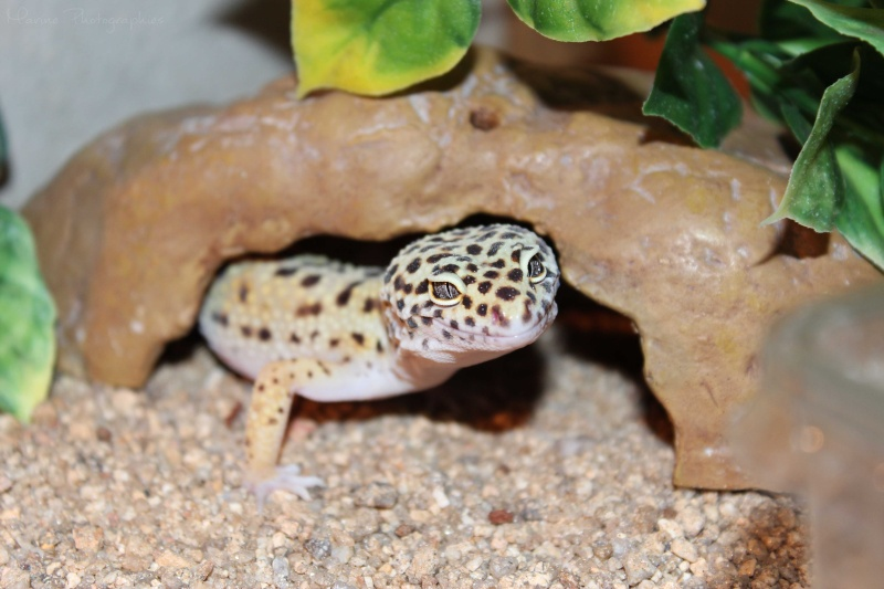 Gecko Léopard ne mange plus. Img_0210