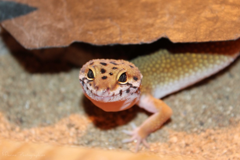 [Geckos Léopard] Krokmou, Mira et Pêche. Img_9511