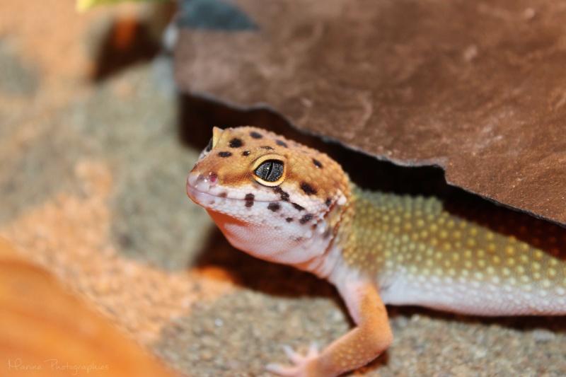 [Geckos Léopard] Krokmou, Mira et Pêche. Img_9512