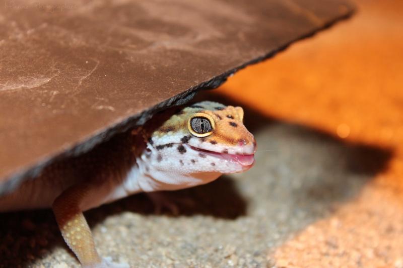 [Geckos Léopard] Krokmou, Mira et Pêche. Img_9513