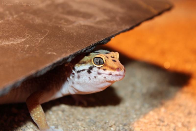 [Geckos Léopard] Krokmou, Mira et Pêche. Img_9610