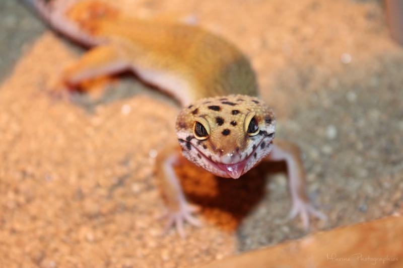 [Geckos Léopard] Krokmou, Mira et Pêche. Img_9611